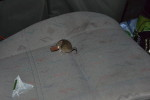 Myš vs tribit