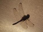 Vážka na bivaku